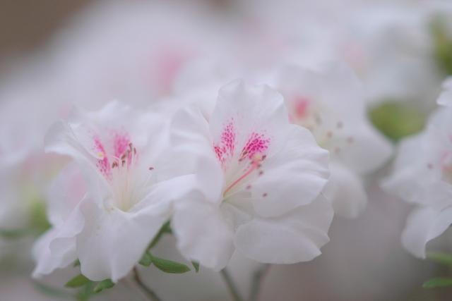 春を待つ満開のアザレア